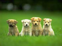 Puppy Wallpapers HD - Wallpaper Cave