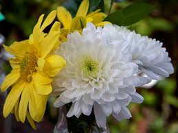 the chrysanthemums essay critical essay on the chrysanthemums  critical essay on the chrysanthemums << essay writing service critical essay on the chrysanthemums