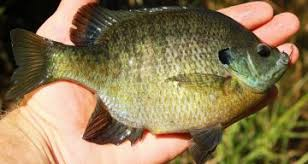 Fact Check Bluegills Are Dangerous And Related To Piranha