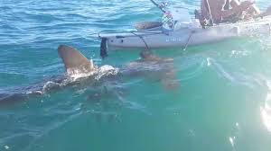 hammerhead shark bite. Brilliant Bite Video Captured A Shark Encounter Off Dana Point On Sept 13 2015  With Hammerhead Shark Bite