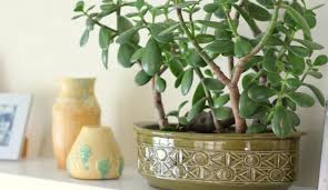 office feng shui plants. jade plant is your perfect pick for the office premises as it attracts prosperity and money feng shui plants o