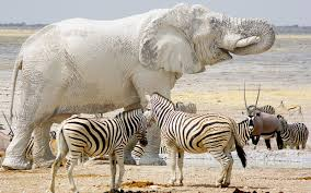 white elephant animal. Modren Animal Amateur Photographer Captures The Moment An Elephant Covered In Mud Appears  To Be Painted White Once Dries With White Elephant Animal A