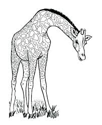 Giraffe Colouring Picture Predragterziccom