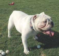 white english bulldog. Beautiful English Inside White English Bulldog G
