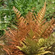 Dryopteris Erythrosora Rode Sluiervaren Tuinplanten