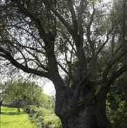 Resultado de imagen de FALDA, Part baixa de les branques d'una olivera