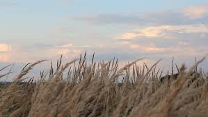 dry grass field background. Beautiful Pink And Purple Clouds On A Background Of Dry Grass In Meadow. Stock Footage Video 20067106 | Shutterstock Field