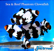 black phantom clownfish. Contemporary Clownfish Phantomclownfishgroupjpg And Black Phantom Clownfish N