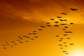 Image result for Canada birds migrating in autumn