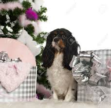 cavalier king charles spaniel 18 months old with tree and gifts in front