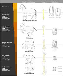 Ancestry Toe Chart Evolution Of The Horse Wikipedia