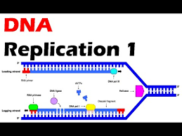 Dna Replication 1 Process Of Dna Duplication Youtube