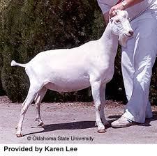 Breeds Of Livestock Lamancha Goats Breeds Of Livestock