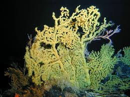 in addition  as well Animals   The Deep sea Biome as well  additionally Informational  Deep Sea Plants   Weasyl additionally  further  as well Corals and Coral Reefs   Smithsonian Ocean Portal likewise Deep Sea Creations   Coral as well  further . on deep sea plants