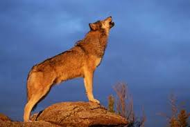 wolf howling. Perfect Wolf Wolves Howl To Communicate Over Long Distances Throughout Wolf Howling D