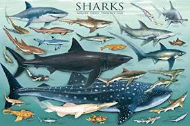 Shark Size Chart Laminated Sharks Underwater Educational Chart Poster 24x36 Education Poster Print 36x24