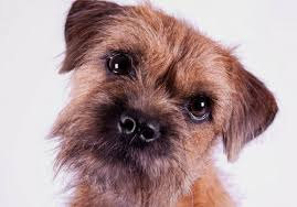 Image result for border terrier