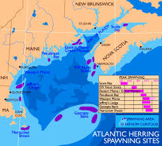 Herring Research Spawning
