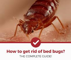 Bedbugs Images How To Get Rid Of Bed Bugs Complete Guide