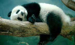 cute panda image hd