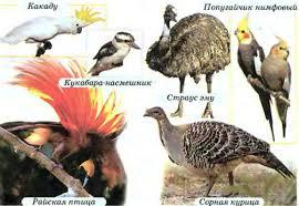 Своеобразие и уникальность растительного и животного мира  Мир птиц Австралии какаду попугайчик нимфовый корелла кукабара насмешник страус эму райская птица сорная курица