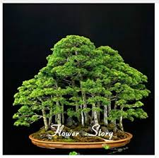 Image Cool Image Unavailable Aliexpresscom Amazoncom 20 Juniper Bonsai Tree Seeds Potted Flowers Office