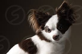 chion chihuahua dog cute puppy by e