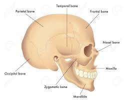 Basic Skull Anatomy