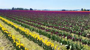rows of yellow purple and red tulips in skagit valley