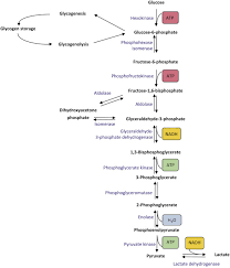 Glycolysis Chart With Enzymes Glycolytic Enzyme An Overview Sciencedirect Topics