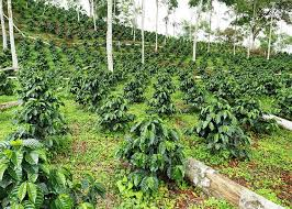 shade grown coffee plantation.  Grown Agricultural Greeting Card Featuring The Photograph Shadegrown Coffee  Plantation By Dr Morley Read For Shade Grown C