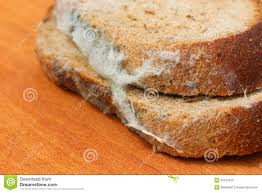 The Old Black Mold On The Bread Spoiled Food Mold On Food Stock