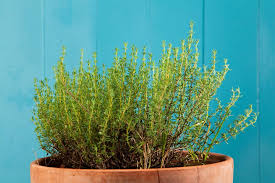 thyme is another of those lovely herbs that are a must have in any container herb