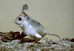 Rodents Lower Classifications Biokids Kids Inquiry Of Diverse Species Rodentia