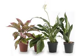 office indoor plants. Set Of 4 Indoor Plants - Live Potted For Your Home Or Office Includes