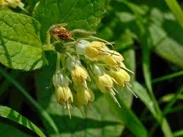 Symphytum bulbosum - Wikipedia
