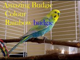 Rare Budgie Colors Budgie Parakeets In Variety Of Colors