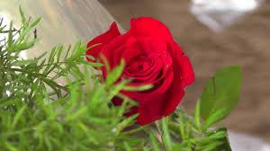 red rose flower full hd video