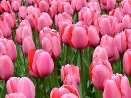 Tucker's Tulips in Ada, OK - Chickasaw ...