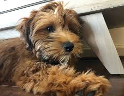 Wheaten Terrier Size Chart Whoodle Dog Breed Overview Appearance Breeders Size
