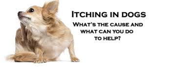 What causes Itching in dogs, and what you can do to help – ZUKI
