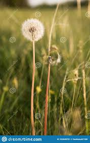 Two Dandelions Next To One Whole And Beautiful Second Flown Around And Naked Concept Of Comparing Health And Disease Stock Image Image Of Background Deflated 152048781