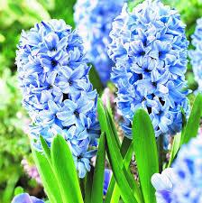 Image result for image hyacinth