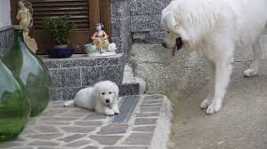 great pyrenees maremma shepherd akbash dog slovac cuvac kuvasz of hungary