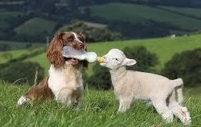Resultado de imagen de perro y oveja