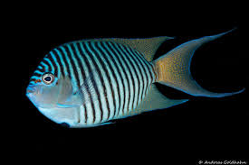 The Colorful Fish Of Fiji Underwater Photography Guide