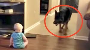 Wieso ist eine hundekrankenversicherung sinnvoll? Video Familien Hund Schleicht Sich An Baby An Was Dann Passiert Grosse Hunde Kleinkind Hunde