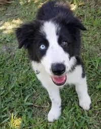 border collie puppy adoption