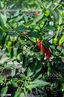apache green chili