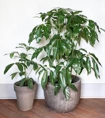 schefflera large indoor plants